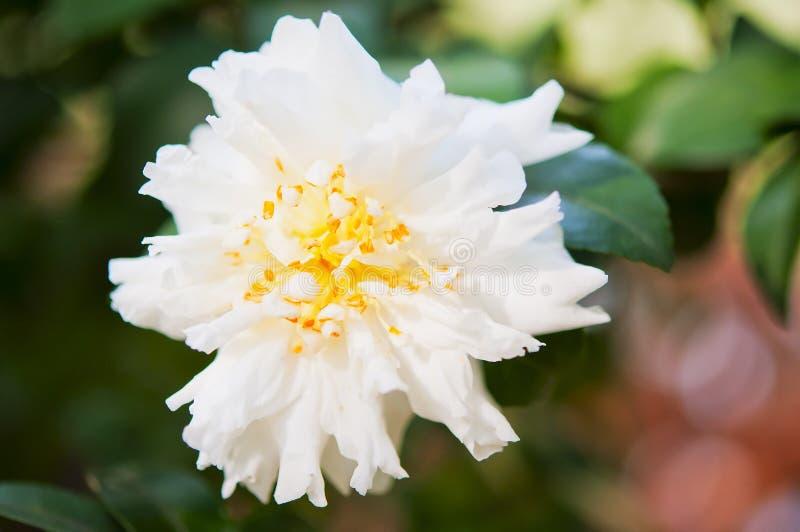 Camélia blanc photographie stock
