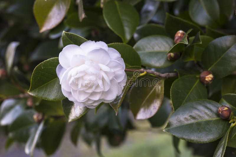 Camélia blanc images stock