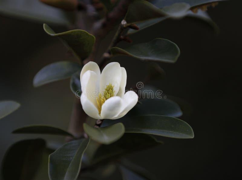 Camélia branca, japonica, na flor completa com fundo do céu azul imagens de stock royalty free