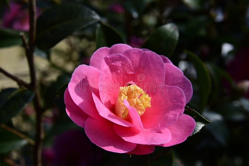 Camélia C cognassier du Japon images stock