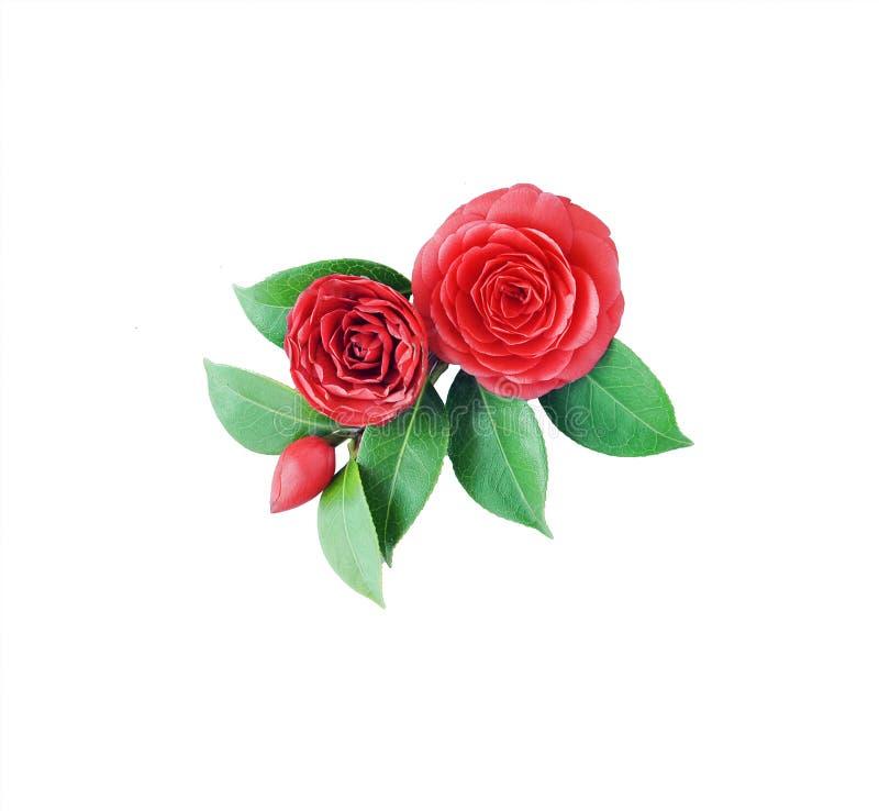 Camélia, d'isolement sur le fond blanc Fleur japonaise W de ressort photos stock