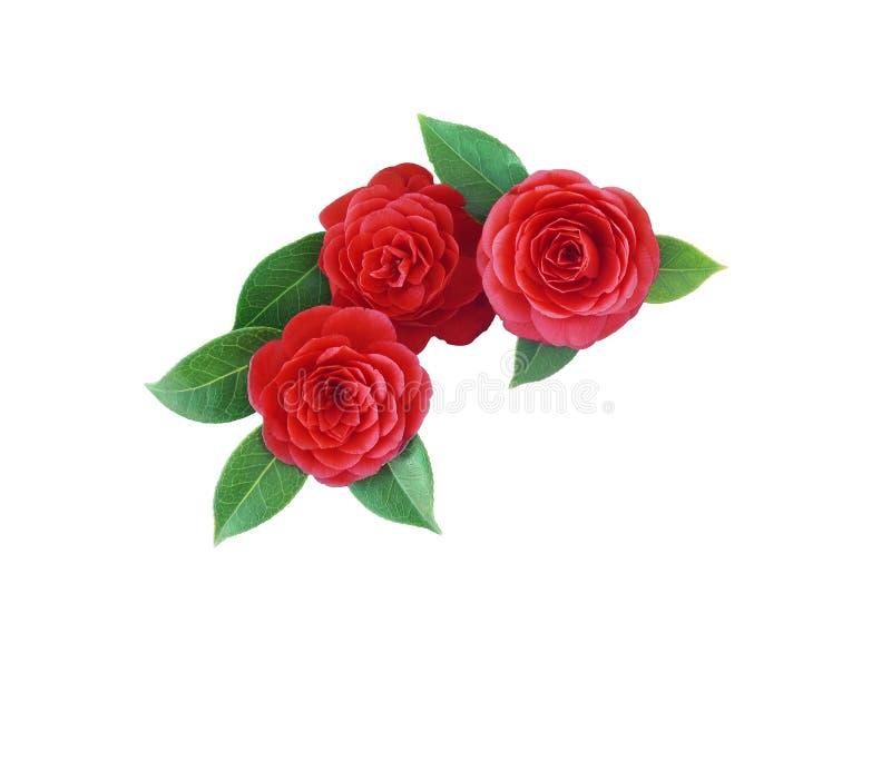 Camélia, d'isolement sur le fond blanc Fleur japonaise W de ressort images libres de droits