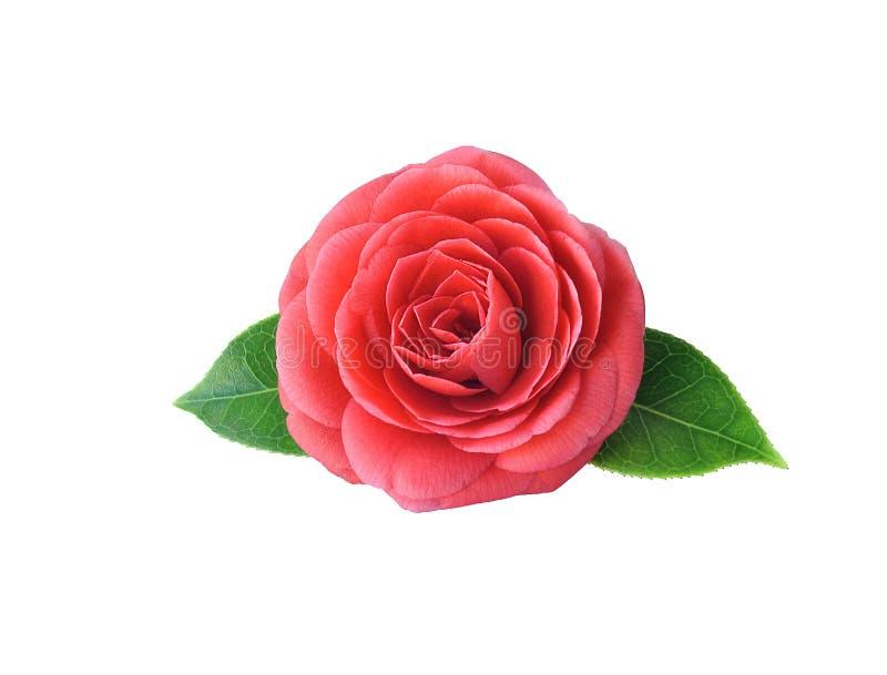 Camélia, d'isolement sur le fond blanc Fleur japonaise W de ressort image libre de droits