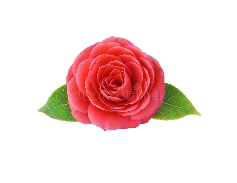 Camélia, d'isolement sur le fond blanc Fleur japonaise W de ressort images stock