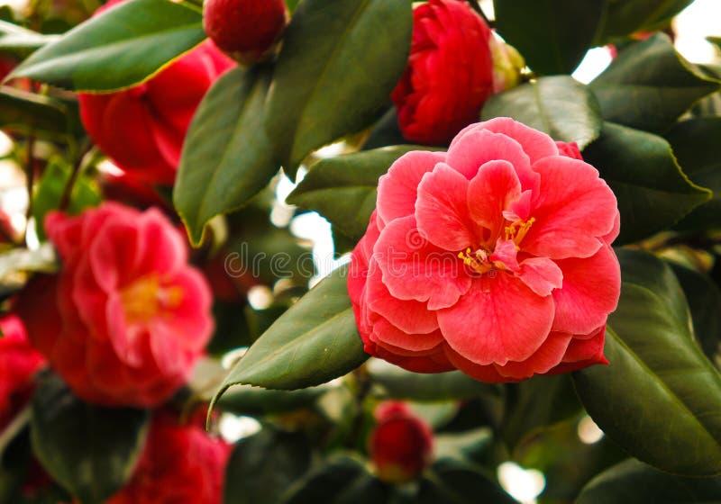 Camélia du jardin botanique images stock