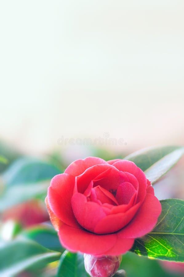 camélia Fleur de Japonais de ressort photos libres de droits