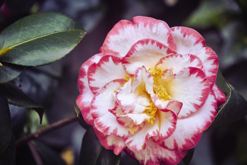 Camélia fleuri image libre de droits