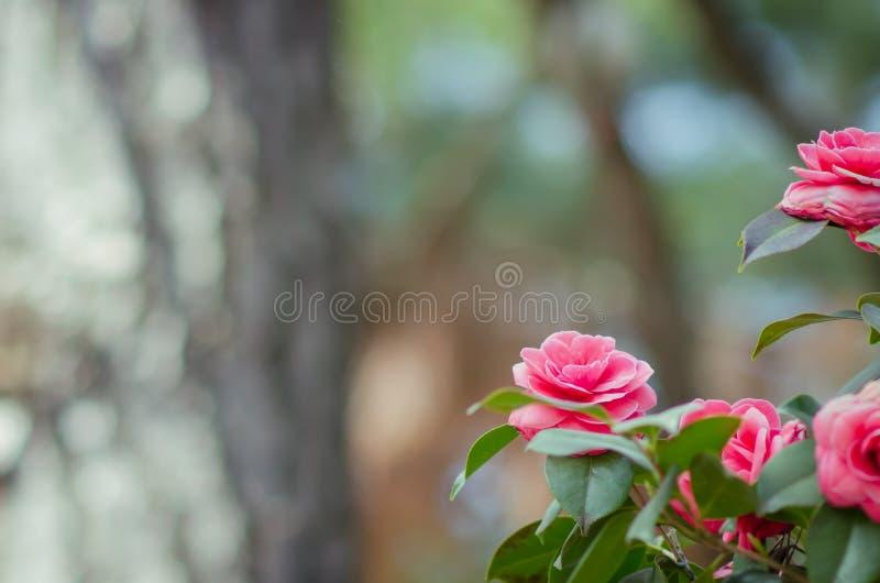 Camélia fleurissant sur le fond trouble au Japon image stock