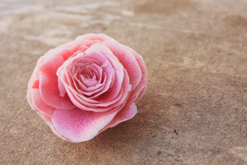 Camélia, flor em botão de florescência na pedra, fim acima, planta colorida e vívida, molde do fundo natural fotos de stock royalty free