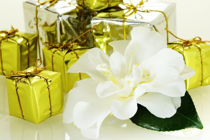 Camélia gentil frais avec la lame et peu de cadres de cadeau photographie stock libre de droits