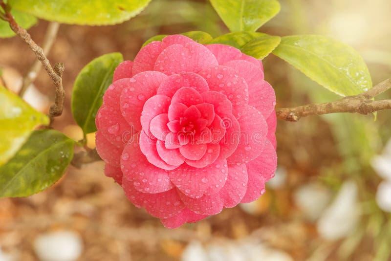 Camélia japonais photo stock