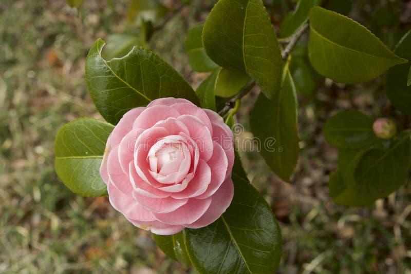 Camélia japonais images stock