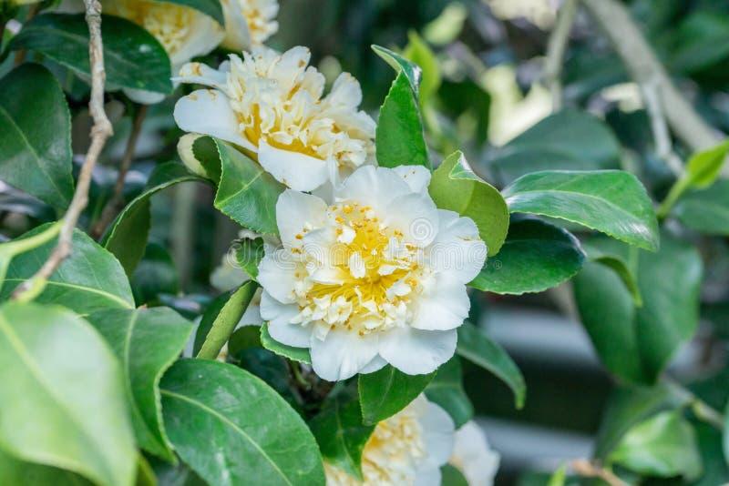 Camélia japonais avec la fleur blanche images libres de droits