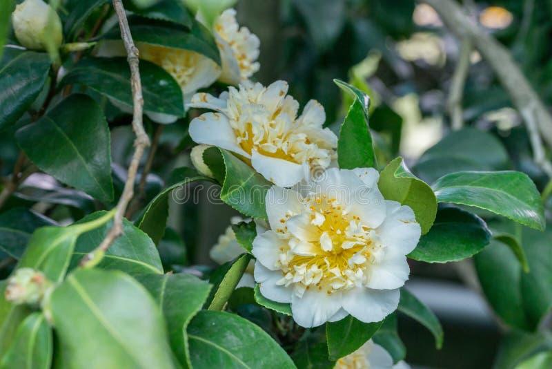 Camélia japonais avec la fleur blanche photos libres de droits