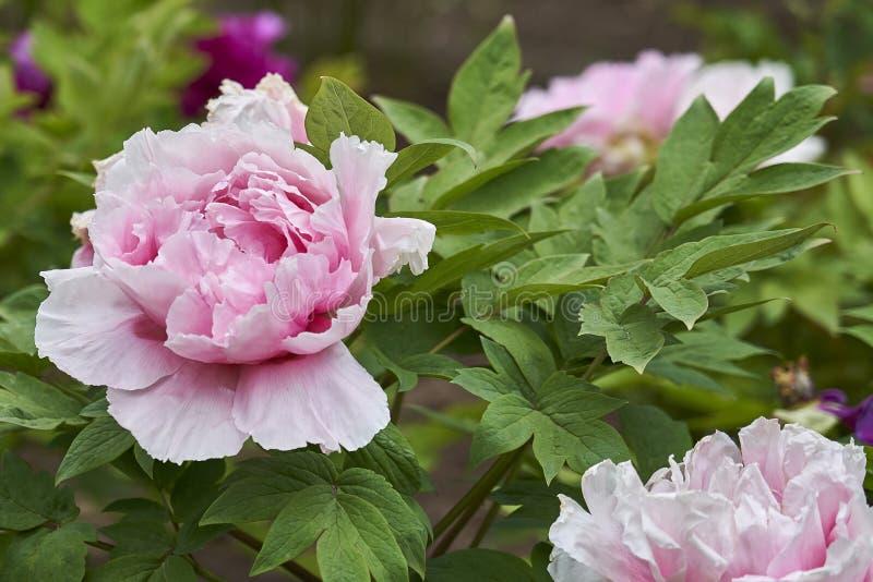 Camélia japonais rose tendre avec des gouttes de pluie images stock