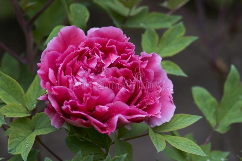 Camélia japonais rose tendre avec des gouttes de pluie photos stock