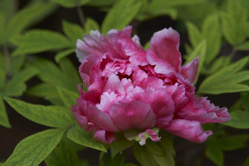 Camélia japonais rose tendre avec des gouttes de pluie photo libre de droits