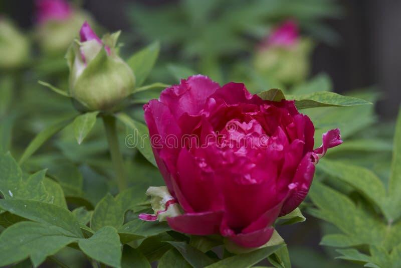 Camélia japonais rouge tendre avec des gouttes de pluie photos libres de droits