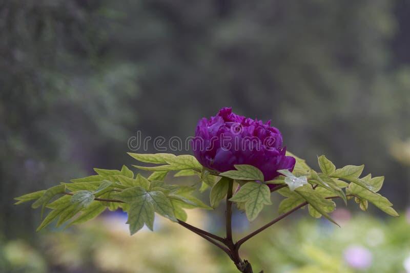 Camélia japonais violet tendre avec des gouttes de pluie image stock