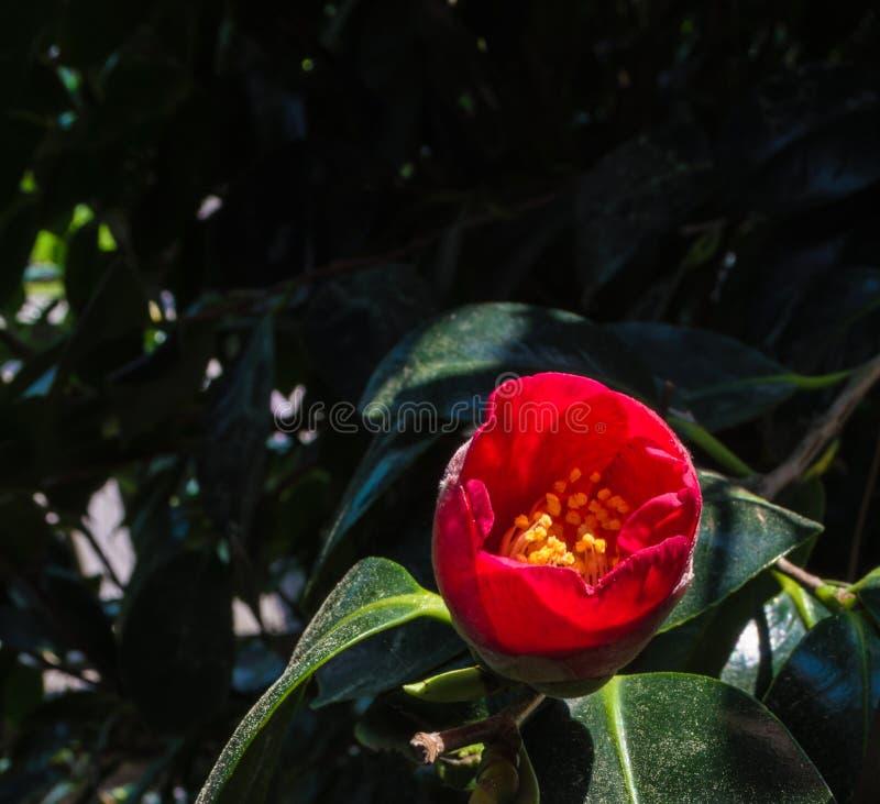 Camélia na flor fotografia de stock royalty free