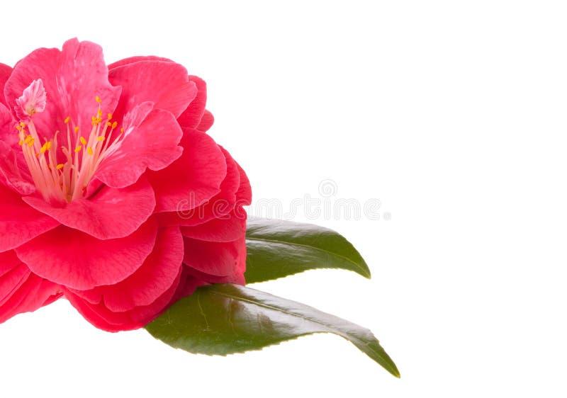 Camélia rose image stock
