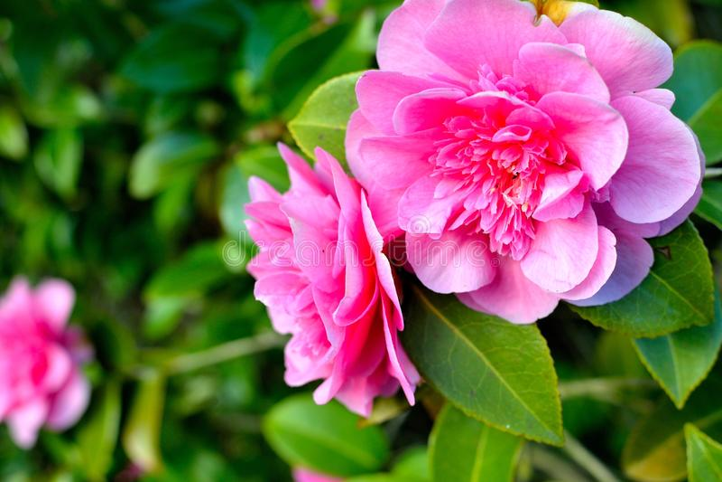 Camélia rose image libre de droits