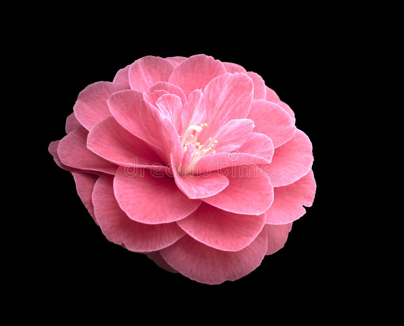 Camélia rose photos stock