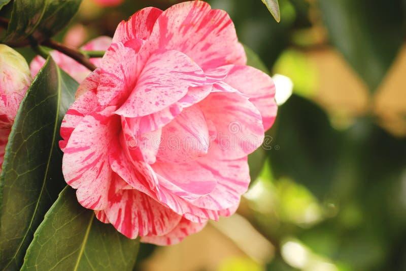 Camélia rose photo libre de droits