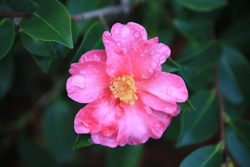 Camélia rose avec des gouttes de pluie image stock