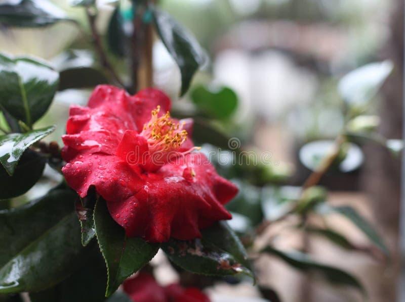 Camélia rouge après la pluie images stock
