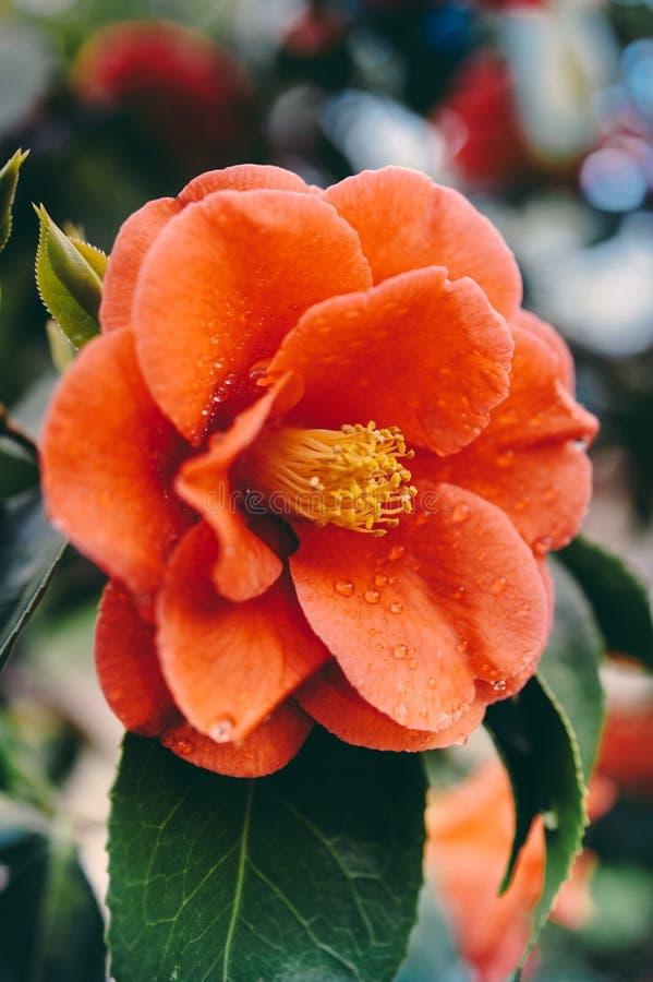 Camélia rouge contre les feuilles vertes image stock