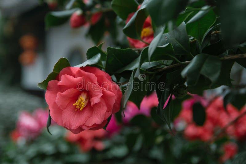 Camélia rouge dans l'arbre photos stock