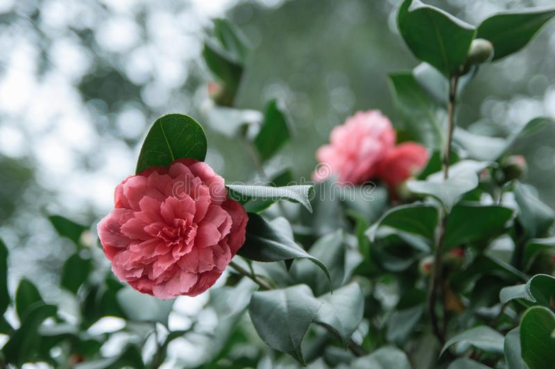 Camélia rouge dans l'arbre photographie stock libre de droits