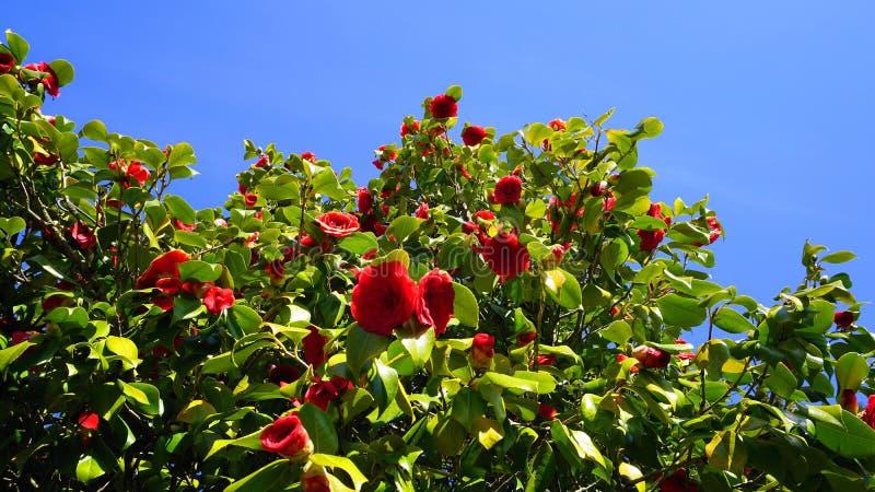 Camélia rouge voyant et beau - arbre de cognassier du Japon de camélia en fleur photos libres de droits