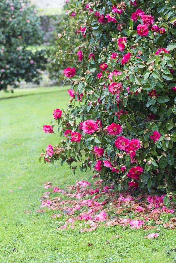 Camélia sur l'arbre, dans un jardin public image libre de droits