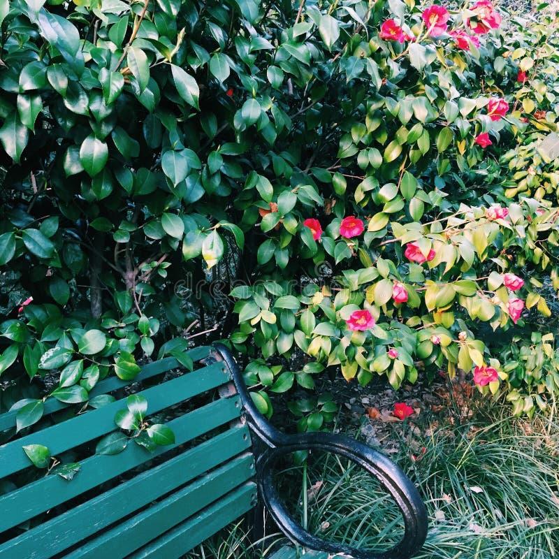 Camélia vermelha por um banco fotografia de stock royalty free