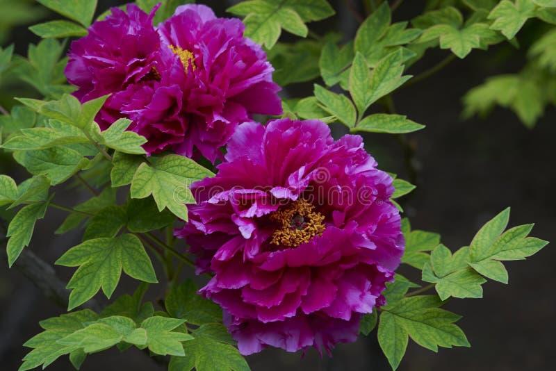 Camélias japonais violets tendres avec des gouttes de pluie photographie stock