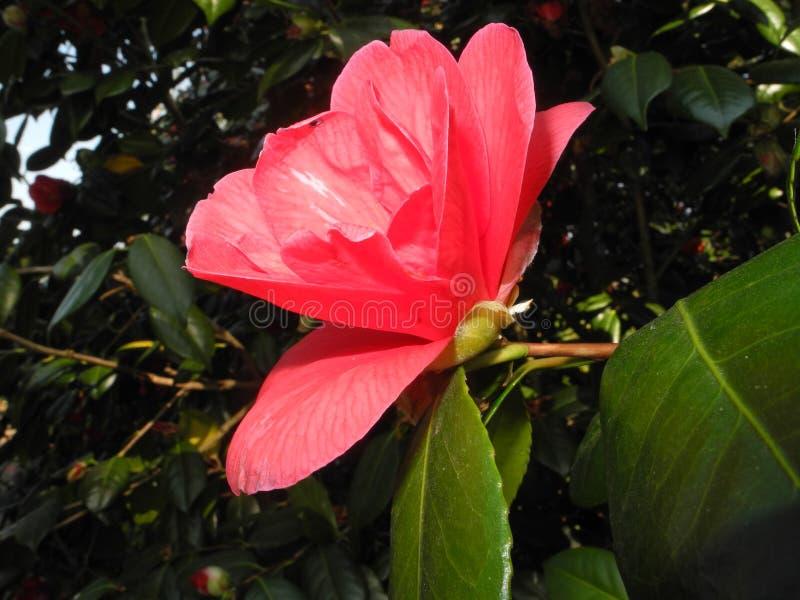 Cam?lia rose images stock