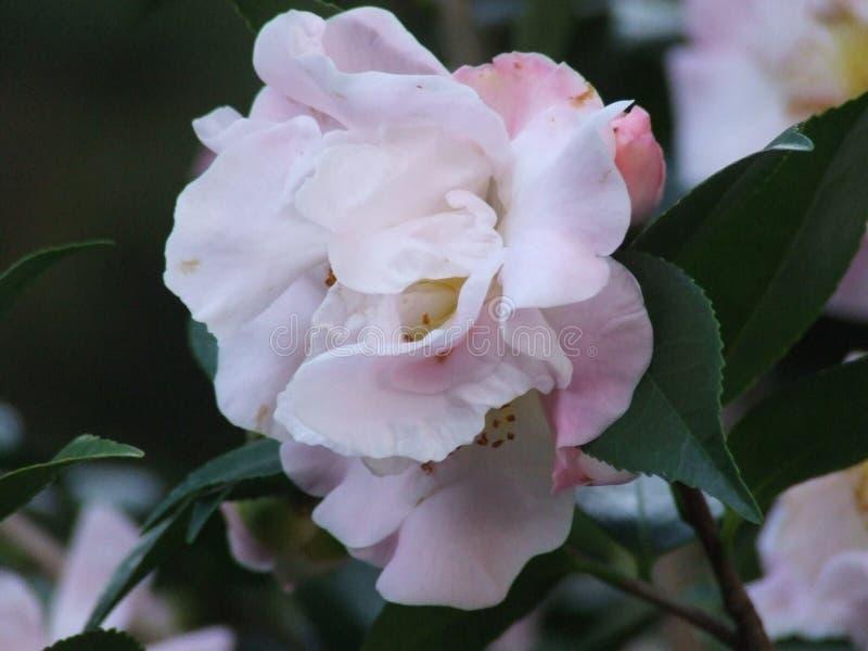 Cam?lia rose et blanc images libres de droits