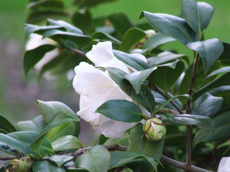 Cam?lia rose et blanc photographie stock libre de droits