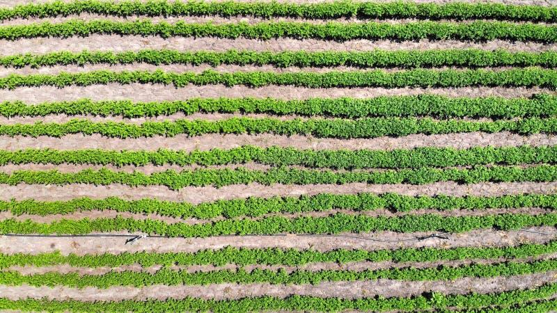Cama aérea, visión superior de la patata Fondo del cultivo y de la agronomía imagenes de archivo