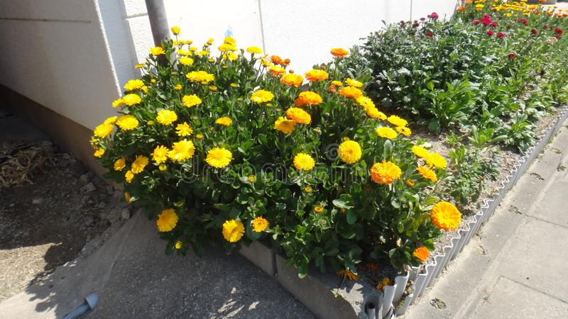 Cama amarela do jardim de flores imagens de stock