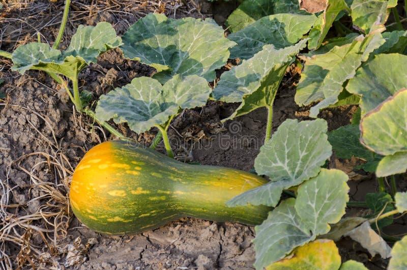 Cama da abóbora do violino com as colheitas na cor amarela e verde no jardim vegetal fotografia de stock
