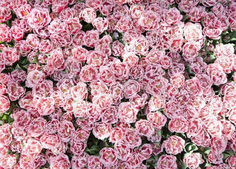 Cama de flor bonita das tulipas cor-de-rosa disparadas de cima no dia ensolarado foto de stock