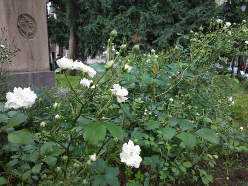 cama de flor branca inodora fotografia de stock royalty free