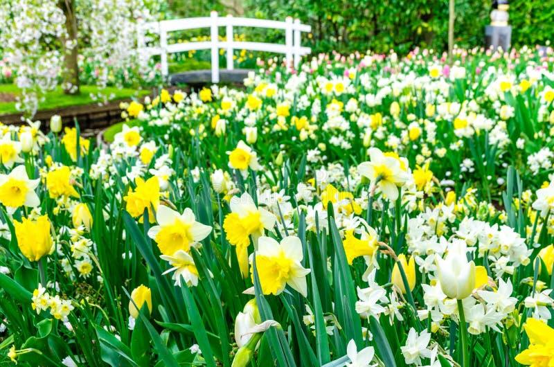A cama de flor com o narciso amarelo amarelo e branco floresce a florescência no jardim da mola de Keukenhof de Lisse- Países Bai fotos de stock