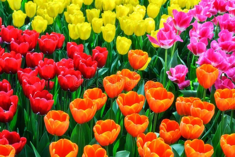 Cama de flor com tulipas multicoloridos imagem de stock royalty free