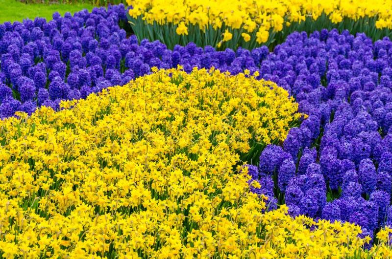 Cama de flor con las flores azules del jacinto del anf amarillo del narciso que florecen en el jardín de la primavera de Keukenho foto de archivo libre de regalías