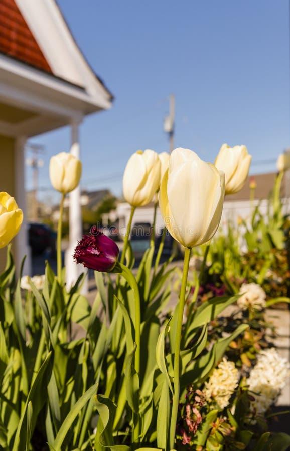 Cama de flor con los tulipanes rojos y amarillos en la calle de la ciudad cerca de la casa en un día de primavera soleado, cielo  imagenes de archivo