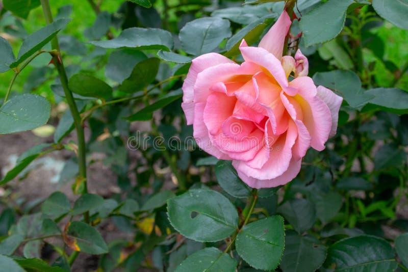 Cama de flor cor-de-rosa do jardim de rosas fotos de stock royalty free